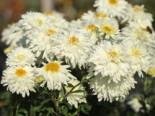 Winteraster 'Schneewolke', Chrysanthemum x hortorum 'Schneewolke', Topfware