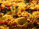 Winteraster 'Zeus', Chrysanthemum x hortorum 'Zeus', Topfware