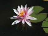 Wohlriechende Seerose 'Rosennymphe', Nymphaea odorata 'Rosennymphe', Topfware