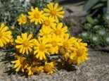 Wüsten Goldaster, Eriophyllum lanatum, Topfware