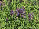 Ysop, Hyssopus officinalis, Topfware