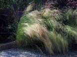 Zartes Federgras 'Ponytails', Stipa tenuissima 'Ponytails', Topfware
