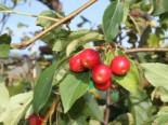 Zierapfel Red Jade