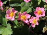 Zier-Erdbeere 'Pink Panda' ®, Fragaria x ananassa 'Pink Panda' ®, Topfware