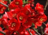 Zierquitte 'Crimson and Gold', 40-60 cm, Chaenomeles 'Crimson and Gold', Containerware