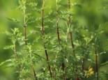 Zitronen-Eberraute 'Citrina', Artemisia abrotanum 'Citrina', Topfware