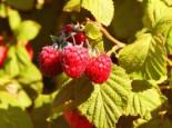 Zwerg-Himbeere 'Groovy' ®, 40-60 cm, Rubus idaeus 'Groovy' ®, Containerware