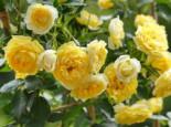 Zwerg-Kletterrose 'Elida' ® / 'Starlet' ®, Rosa 'Elida' ® / 'Starlet' ®, Topfware