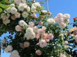 Zwerg-Kletterrose Starlet®-Rose 'Alina' ®, Rosa Starlet®-Rose 'Alina' ®, Topfware