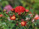Zwerg-Kletterrose Starlet®-Rose 'Carmen' ®, Rosa Starlet®-Rose 'Carmen' ®, Topfware
