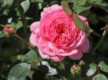 Zwerg-Kletterrose Starlet®-Rose 'Eva' ®, Rosa Starlet®-Rose 'Eva' ®, Containerware