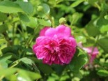 Zwerg-Kletterrose Starlet®-Rose 'Melina' ®, Rosa Starlet®-Rose 'Melina' ®, Containerware