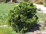 Zwerg-Muschel-Zypresse 'Nana Gracilis', 15-20 cm, Chamaecyparis obtusa 'Nana Gracilis', Containerware