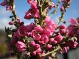 Zwerg-Nektarine, Stamm 30-40 cm, 50-60 cm, Prunus nucipersica, Containerware