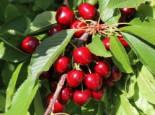 Zwerg Sauerkirsche 'Griotella' ®, Stamm 20-30 cm, 50-60 cm, Prunus cerasus 'Griotella' ®, Containerware