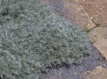 Zwerg-Silberraute 'Nana', Artemisia schmidtiana 'Nana', Containerware