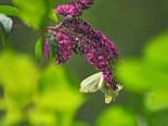 Zwerg-Sommerflieder / Schmetterlingsstrauch 'Buzz ® Magenta', 15-20 cm, Buddleja davidii 'Buzz ® Magenta', Containerware