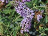 Zwerg-Sommerflieder / Schmetterlingsstrauch 'Lilac Chip' ®, 40-60 cm, Buddleja davidii 'Lilac Chip' ®, Containerware