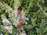 Zwerg-Sommerflieder / Schmetterlingsstrauch 'Marbled White' / 'Markeep' / 'Schachbrett', 40-60 cm, Buddleja davidii 'Marbled White' / 'Markeep' / 'Schachbrett', Containerware
