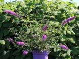 Zwerg-Sommerflieder / Schmetterlingsstrauch 'Summer Lounge' ® (Purple), 20-30 cm, Buddleja davidii 'Summer Lounge' ® (Purple), Containerware