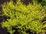 Zwergbirke / Polarbirke 'Golden Treasure', 60-80 cm, Betula nana 'Golden Treasure', Containerware