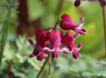 Dicentra formosa 'Burning Hearts' ®