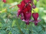 Dicentra formosa 'Red Fountain' ®
