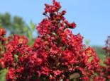 Zwergige Kräuselmyrte 'Red Imperator', 30-40 cm, Lagerstroemia nana 'Red Imperator', Containerware