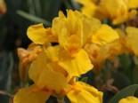 Zwergige Schwertlilie 'Orange Caper', Iris x barbata-nana 'Orange Caper', Topfware