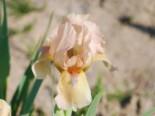 Zwergige Schwertlilie 'Orchid Flair', Iris x barbata-nana 'Orchid Flair', Topfware
