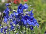 Zwergiger Rittersporn 'Blauer Zwerg', Delphinium grandiflorum 'Blauer Zwerg', Topfware