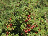 Cotoneaster microphyllus 'Cochleatus'