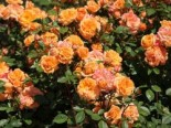 Rosa 'Apricot Clementine' ®