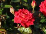 Zwergrose 'Chili Clementine' ®, Stamm 60 cm, Rosa 'Chili Clementine' ®, Stämmchen