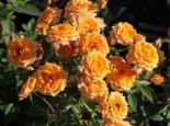 Rosa 'Clementine' ®