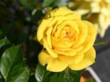 Zwergrose 'Goldjuwel' ®, Rosa 'Goldjuwel' ®, Containerware