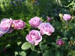 Zwergrose 'Lavender Ice' ®, Rosa 'Lavender Ice' ®, Wurzelware