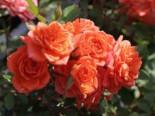 Zwergrose 'Ninetta' ®, Stamm 60 cm, Rosa 'Ninetta' ®, Stämmchen