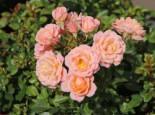 Zwergrose 'Peach Clementine' ®, Rosa 'Peach Clementine' ®, Wurzelware