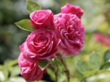 Zwergrose 'Pink Babyflor ®', Stamm 60 cm, Rosa 'Pink Babyflor ®', Stämmchen