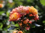 Zwergrose 'Tropical Clementine' ®, Rosa 'Tropical Clementine' ®, Containerware