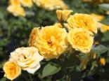 Zwergrose 'Yellow Clementine' ®, Stamm 60 cm, Rosa 'Yellow Clementine' ®, Stämmchen