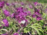 Zwerg-Sommerflieder / Schmetterlingsstrauch 'Buzz ® Pink Purple', 15-20 cm, Buddleja davidii 'Buzz ® Pink Purple', Containerware