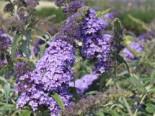 Zwerg-Sommerflieder / Schmetterlingsstrauch 'Buzz ® Sky Blue', 30-40 cm, Buddleja davidii 'Buzz ® Sky Blue', Containerware