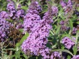 Zwerg-Sommerflieder / Schmetterlingsstrauch 'Buzz ® Violet', 20-30 cm, Buddleja davidii 'Buzz ® Violet', Containerware
