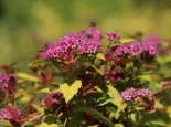 Spiraea japonica 'Magic Carpet'
