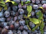 Zwetsche 'Cacaks Schöne', Stamm 40-60 cm, 120-160 cm, Prunus 'Cacaks Schöne', Containerware