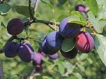 Zwetsche 'Tegera' ®, Stamm 40-60 cm, 120-140 cm, Prunus 'Tegera' ®, Containerware