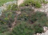 Zypressen Wolfsmilch 'Fens Ruby', Euphorbia cyparissias 'Fens Ruby', Topfware