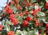 immergrüne Laubbäume - Fruchtende Garten-Stechpalme, 80-100 cm, Ilex aquifolium 'J. C. van Tol', Containerware